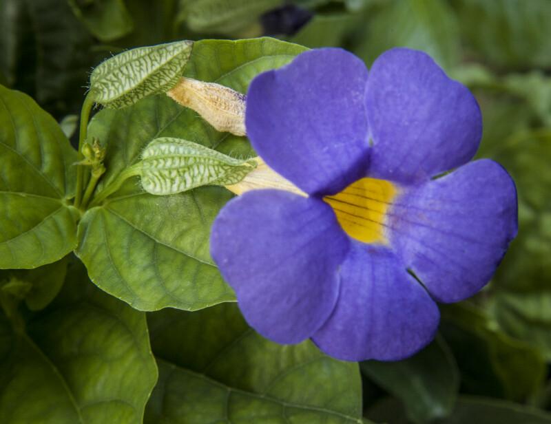 Blue Sky Vine Flower