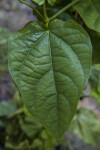 Blue Sky Vine Leaf