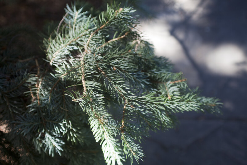 Blue Spruce Detail