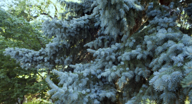Blue Spruce Leaves
