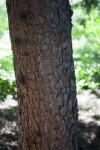 Blue Spruce Trunk