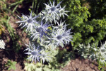 Blue Stout Eryngo