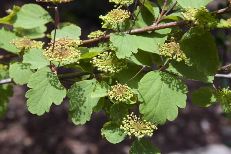Blume Spirea Branch Close-Up