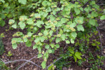 Blume Spirea Branches