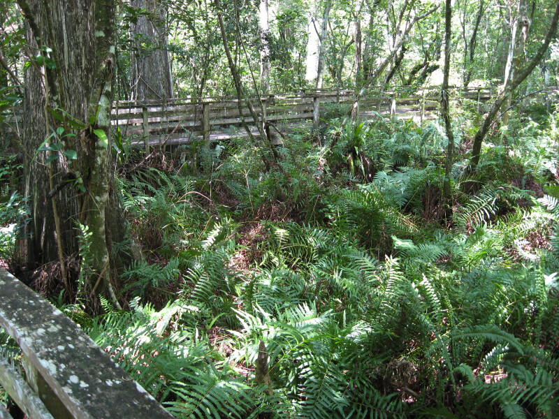 Boardwalk and Ferns