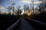 Boardwalk and Sun Setting Through Group of Dwarf Bald Cypress Trees