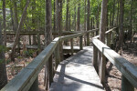 Boardwalk Built Between Cypress Trees