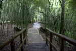 Boardwalk Leading to a Path which Runs Through Bamboo Trees