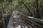 Boardwalk with Curving Rails Leading Through a Mangrove Forest