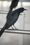 Boat-Tailed Grackle on a Railing