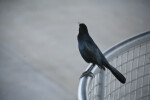 Boat-Tailed Grackle on Rail
