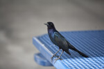 Boat-Tailed Grackle on Table