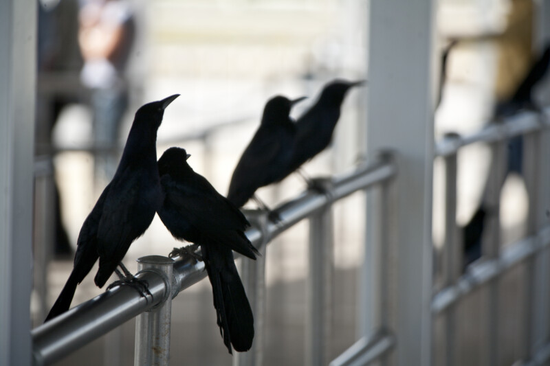 Boat-Tailed Grackles on Rail