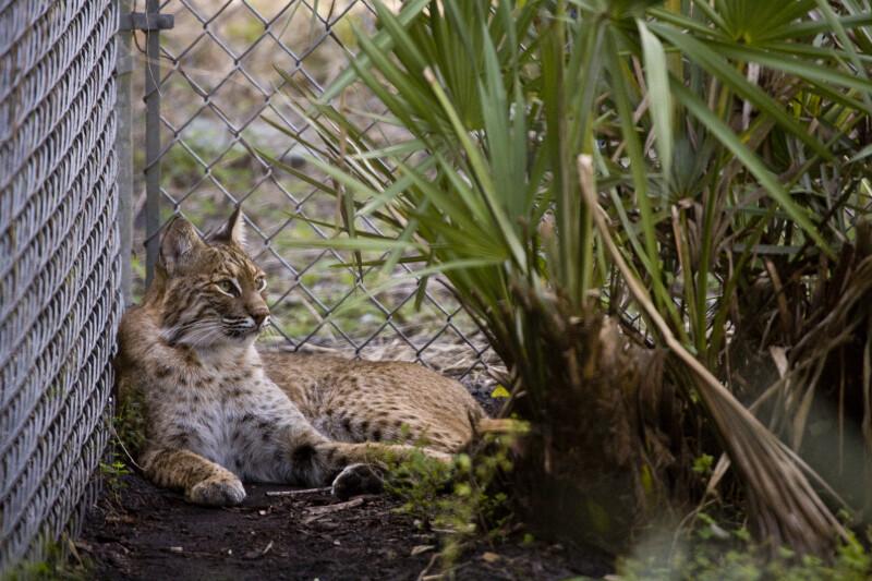Bobcat in Corner