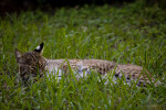Bobcat Laying in Grass
