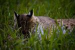 Bobcat Resting