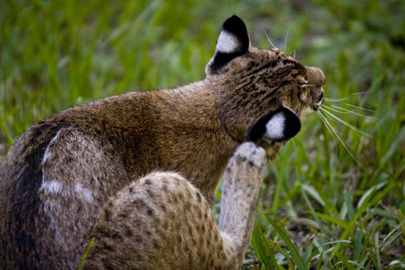 Bobcat Scratching