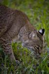 Bobcat Sniffing Grass