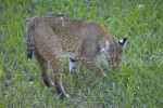 Bobcat Sniffing Grass