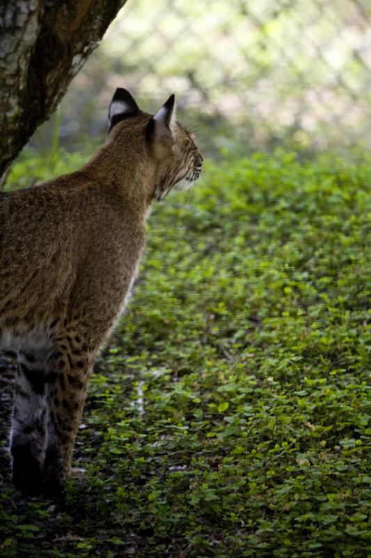Bobcat Under Tree