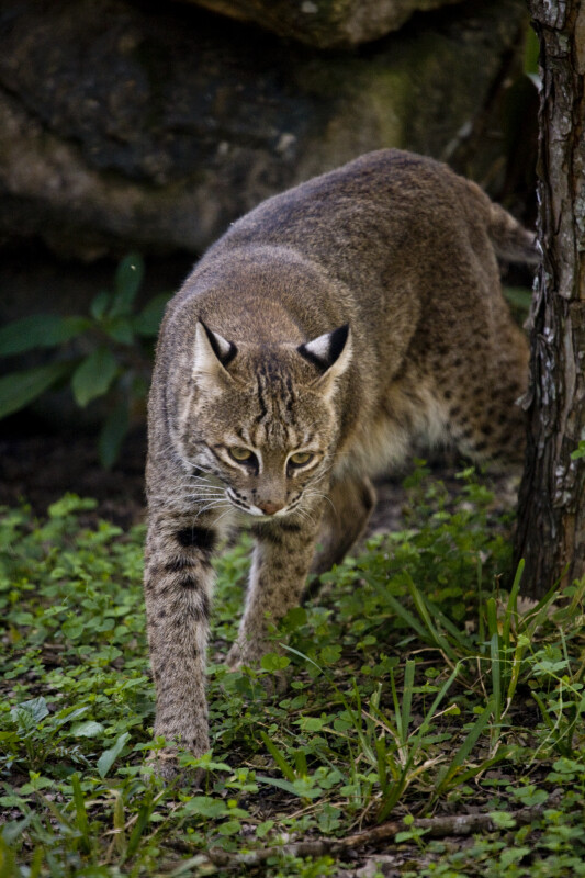Bobcat Walking by Tree