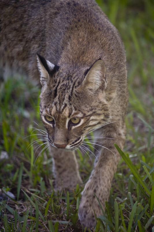 Bobcat Walking