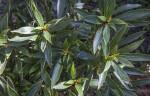 """'Bolivian Sunset"" Plant"