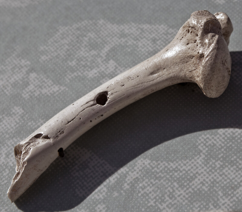 Bone on Display from Florida Panther Kill