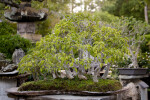 Bonsai Tree with Numerous Light-Green Leaves