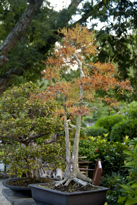 Bonsai Tree with Reddish-Yellow Leaves