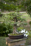Bonsai Tree with Small, Circular, Green Leaves