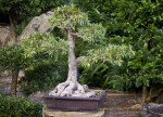 Bonsai Tree with Sturdy Base