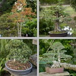 Bonsai Trees photographs