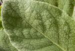 Borage Leaf Detail