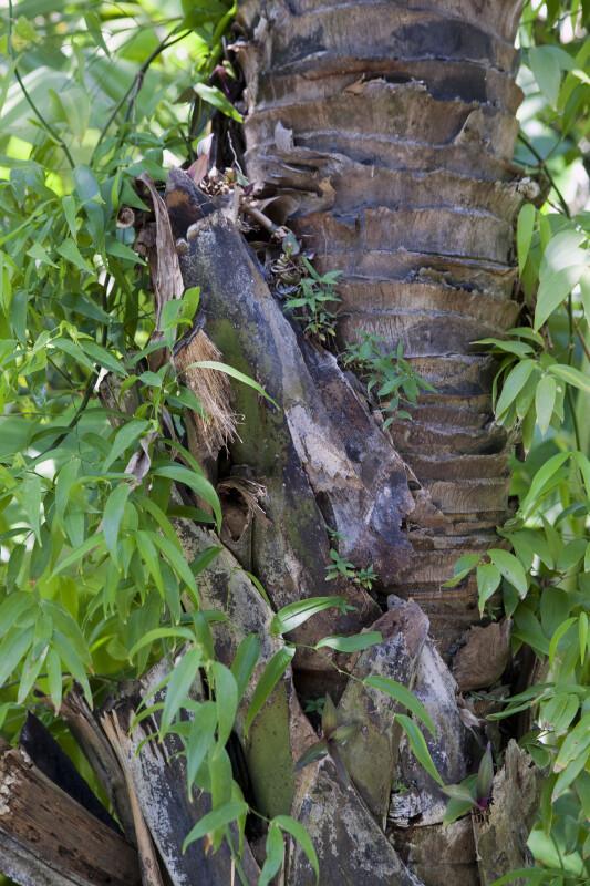 Borassodendron machadonis Palm Trunk