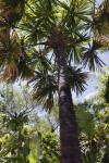 Borassodendron machadonis