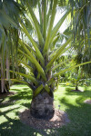 Borassus madagascariensis Palm Tree