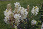 Bottle-Brush Shaped Flowers of a Dwarf Fothergilla