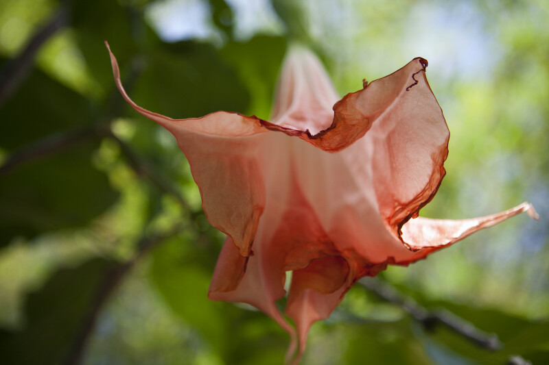 Bottom of Angel's Trumpet Flower