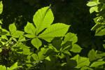Bottom of Horsechestnut Tree Leaves