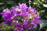 Bougainvilla Flowers and Leaves