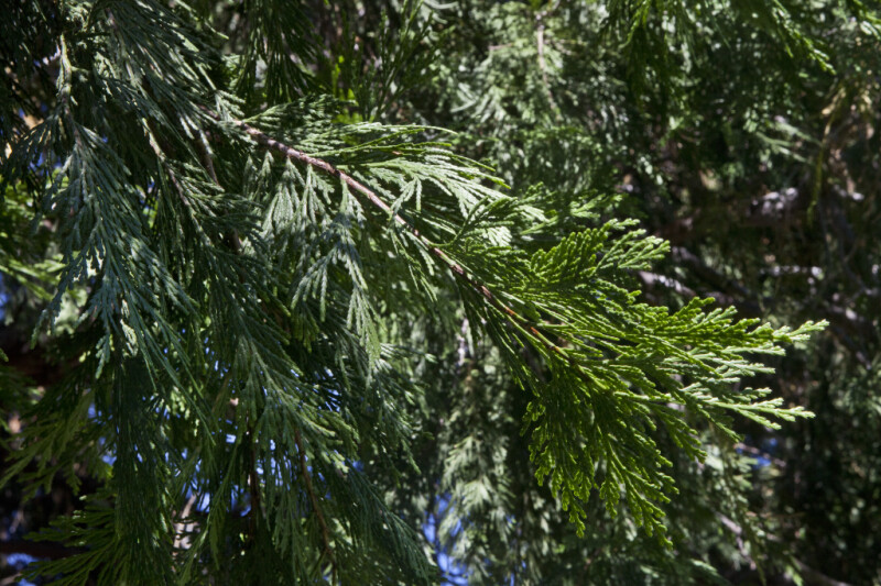 Branch  of a California Incense Cedar