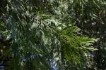 Branch  of a California Incense Cedar