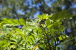 Branch of a Candelabra Bush
