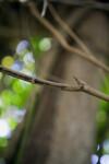Branch of a Jade Vine