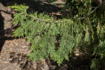 Branch of a Lawson's Cypress Tree