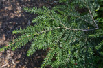 Branch of an Eastern Hemlock Tree