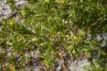Branch of Bay-Cedar with Clustered Green and Yellow Leaves