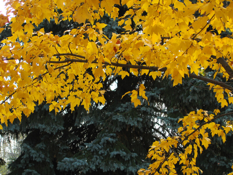 Branch of Bright Yellow-Poplar Leaves