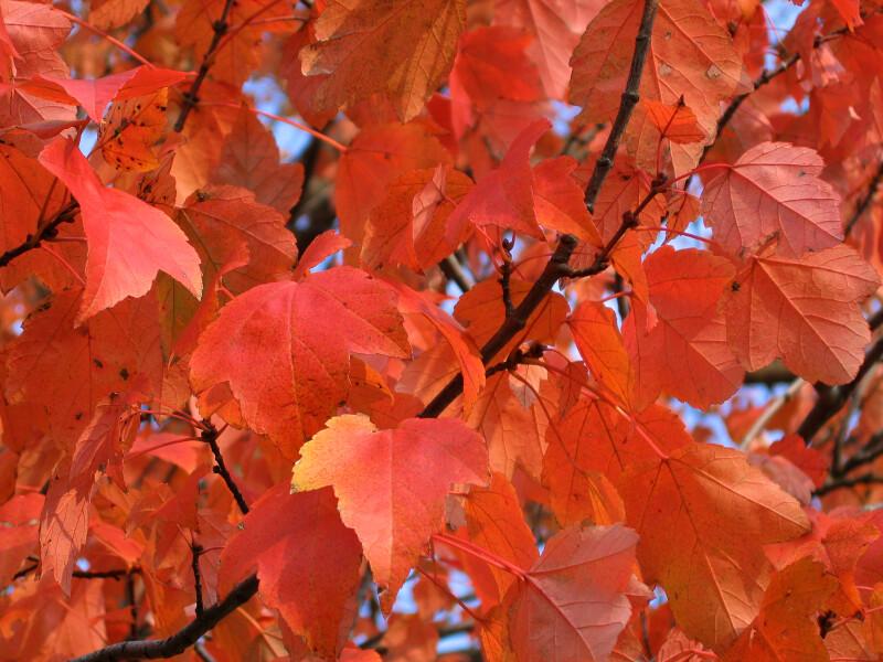 Branch of Orange Leaves